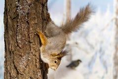 Diorama dello scoiattolo rosso Immagine Stock
