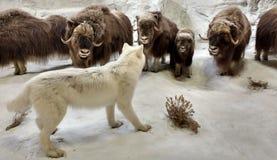 Diorama die het Wild in een Noordpoolscène kenmerken Stock Foto