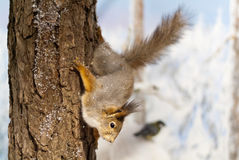 Diorama of red squirrel Stock Image