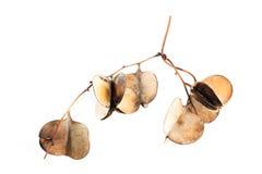 Dioscorea hispida Dennst Fotografie Stock Libere da Diritti