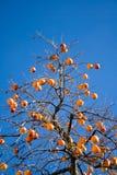 Diospiros tree Stock Photo