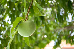 Diospyros decandra Lour or Gold apple Royalty Free Stock Photos