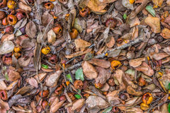 Diospyros fruits and leaves on a ground in a forest Stock Image