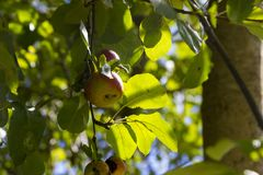 Diospyros kaki. Fruit on plant Royalty Free Stock Photography
