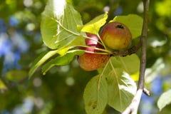 Diospyros kaki. Fruit on plant Royalty Free Stock Image