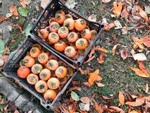 Free Diospyros Kaki, Oriental Persimmon, Two Cases Of Kaki, Freshly Picked Fruits In The Garden, Organic Nutritions Royalty Free Stock Photography - 169620327