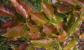 Diospyros kaki, persimmon, leaves of tree Royalty Free Stock Photos