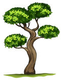 A Diospyros rhodocalyx plant Royalty Free Stock Photo