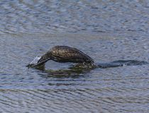 Dip of the Great cormorant on a lake for Fishing royalty free stock image
