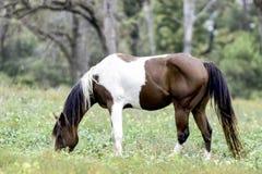 Dipinga il cavallo che pasce nel boschetto del pecan immagini stock libere da diritti