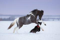Dipinga il cavallo miniatura che gioca con un cane sul campo di neve Immagini Stock