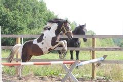 Dipinga lo stallone che salta nel recinto chiuso Fotografia Stock