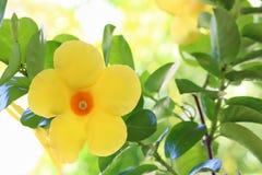 Dipladenia Citrine-Blume Stockbilder
