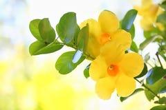 Dipladenia Citrine-Blume Stockfotografie