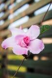 Dipladenia de la rosa del rosa fotos de archivo