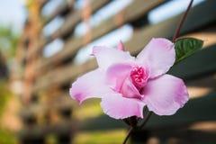 Dipladenia de la rosa del rosa imagen de archivo libre de regalías