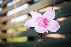 Dipladenia de la rosa del rosa fotografía de archivo