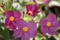 Dipladenia sanderi flower close up shoot. royalty free stock photos