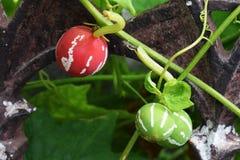 Diplocyclos-palmatus Lizenzfreies Stockbild