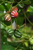 Diplocyclos-palmatus Stockfotografie