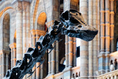 Diplodokus skamieliny kościec Obraz Stock
