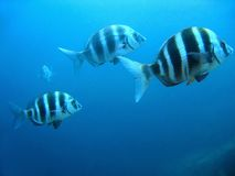 Diplodus cervinus Stock Photos