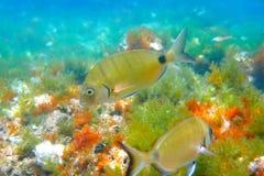 Diplodus Sargus fish underwater Mediterranean royalty free stock photo