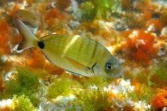 Diplodus Sargus fish underwater Mediterranean stock photos