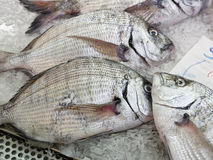 Diplodus Sargus white seabream bream blacktail mediterranean fis Royalty Free Stock Photos