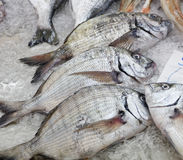 Diplodus Sargus white seabream bream blacktail mediterranean fis Stock Photos