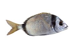Diplodus vulgaris fish two band bream Royalty Free Stock Image