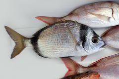 Diplodus vulgaris fish two band bream Royalty Free Stock Photography