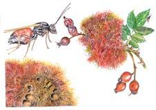 Diplolepis rosae Arkivbilder