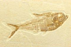Diplomystus fiskfossil Arkivfoton