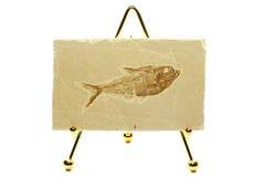 Diplomystus fiskfossil Arkivbilder