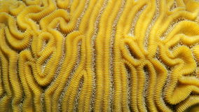 Diploria labyrinthiformis close-up. Grooved brain coral, Diploria labyrinthiformis, close-up, Atlantic ocean Stock Image