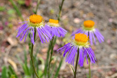 Diplostephioides d'aster Images stock