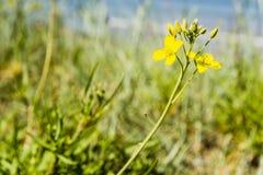 Diplotaxis tenuifolia, perennial wall-rocket Royalty Free Stock Images