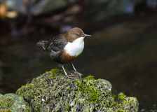 Dipper. Close-up of a European Dipper perched on a moss covered rock royalty free stock photos