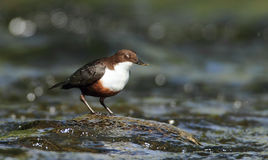 Dipper. A Dipper (Cinclus cinclus) feeds in the water of a river royalty free stock photo