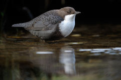 Dipper. Standing in the water with reflecton royalty free stock photo