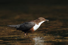 Dipper on Brown Stock Photos