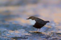 Dipper che sta su una piccola roccia, nella riva, durante la stagione invernale, i Vosgi, Francia Immagini Stock