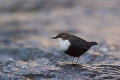 Dipper che sta su una piccola roccia, nella riva, durante la stagione invernale, i Vosgi, Francia Immagine Stock