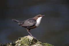 Dipper, Cinclus cinclus Stock Photo