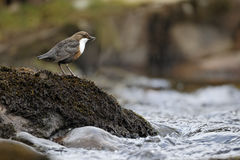 Dipper, Cinclus cinclus. Single bird on rock, Powys, Wales, April 2012 royalty free stock photography