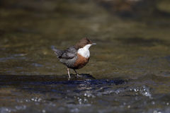 Dipper, Cinclus cinclus,. Single bird by water, Wales, March 2014 royalty free stock image