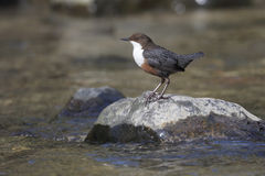 Dipper, Cinclus cinclus,. Single bird by water, Wales, March 2014 stock image