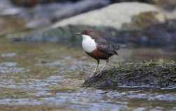 Dipper, Cinclus cinclus,. Single bird by water, Wales, March 2014 stock images