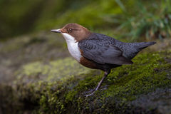 Dipper (Cinclus cinclus) Royalty Free Stock Photo